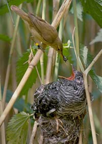 Cuckoos. Pesky parasites or paragons of behavioural evolution, depending how you look at it